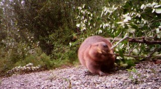 Busy Beaver Caught on Camera
