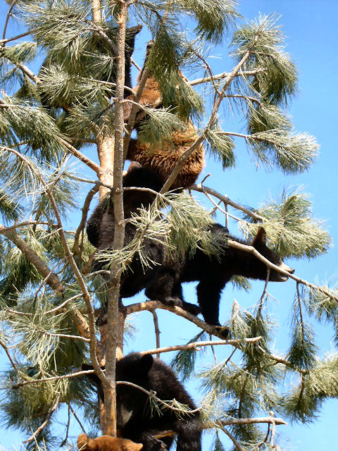 Black Bears at Bear Country, USA, SD.