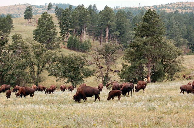 Bison in Custer SP, SD
