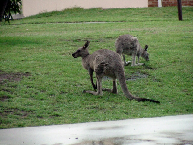 Kangaroo in Camp